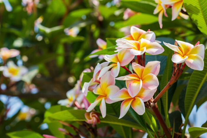 Plumeria Flower Meaning Frangipanier Signification Des Fleurs Pot De Fleur Design