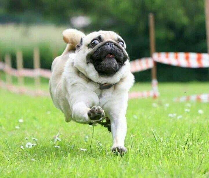 Výsledek obrázku pro pug crazy run