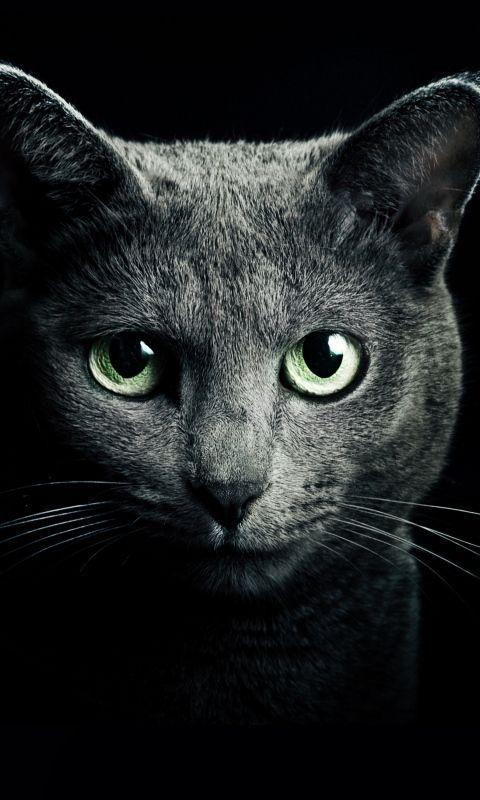 Download wallpaper 480x800 cat, black, breed, russian, blue eyes, green eyes, black background nokia x, x2, xl, 520, 620, 820, samsung galaxy star, ace, asus zenfone 4 hd background