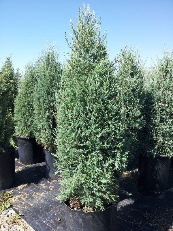 BOTANICAL NAME Juniperus scopulorum 'Medora'DESCRIPTION