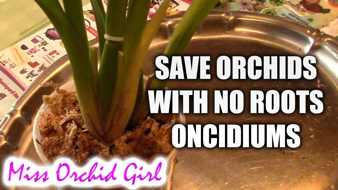 How to save an oncidium orchid without or with very few roots
