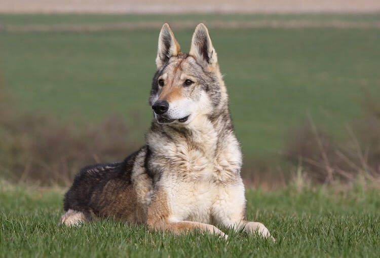 An ultimate guide to the native american indian dog all