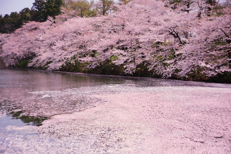 Pin By Catherine Boyd On Nature No Animals No Man Made Structures Cherry Blossom Around The Worlds Scenery