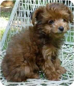 Yorkie Poodle Mix Rescue Dogs Yorkie Yorkshire Terrier Poodle
