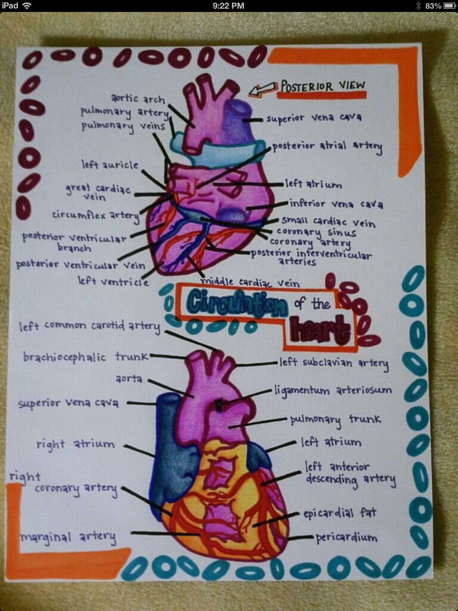 Circulation Of The Heart