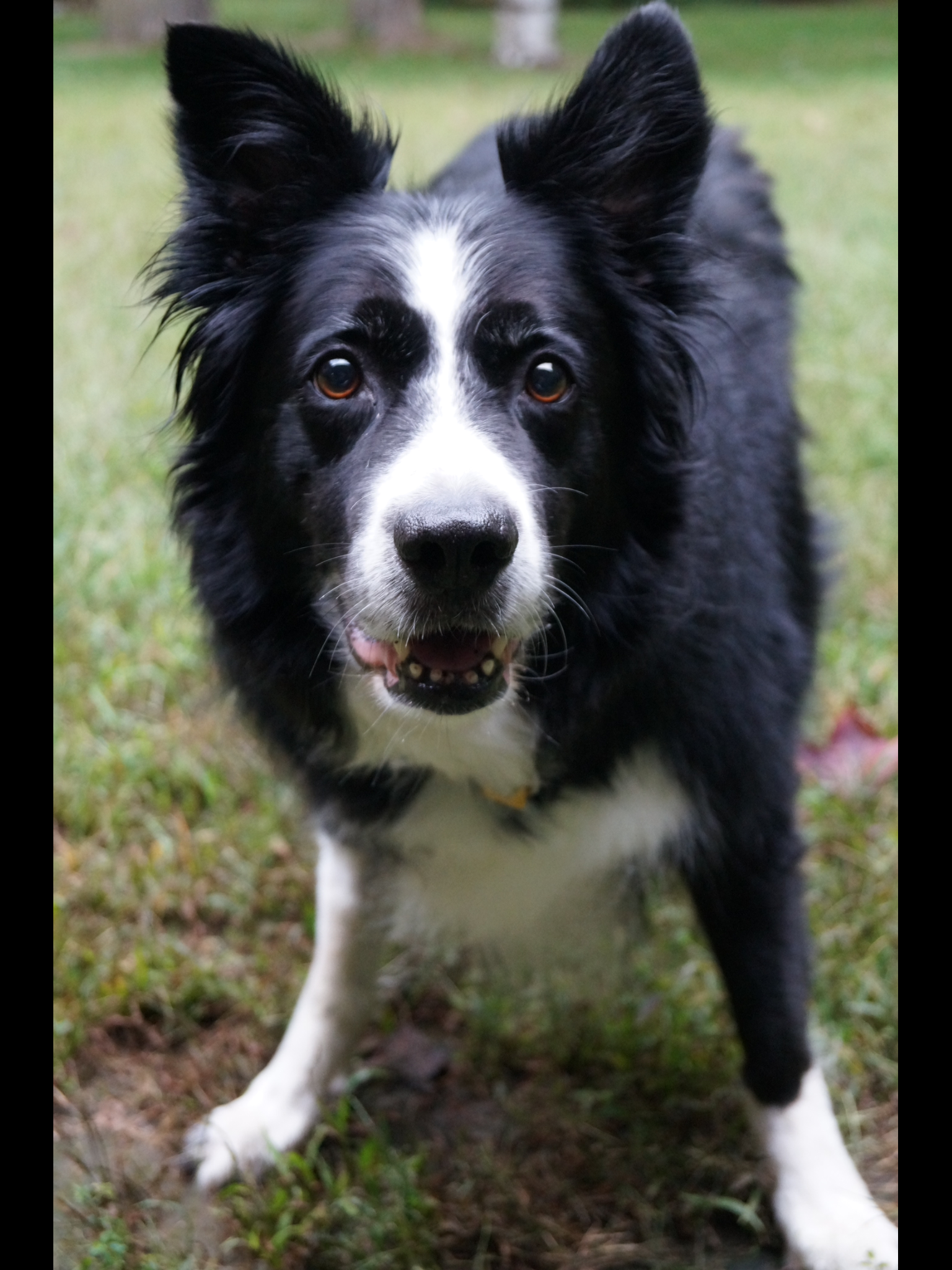 Patch Love those eyes ♥ ♥ BorderCollie