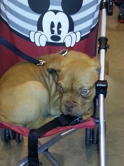 Awwww French Mastiff Houston Pet Expo 2013 Bordeaux Dog French Mastiff Pets
