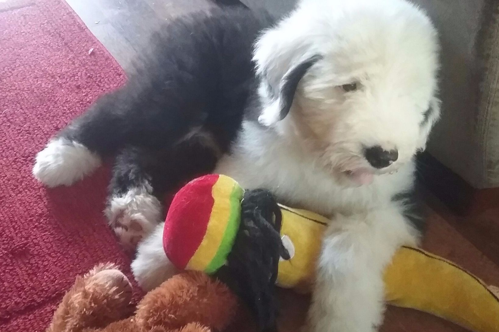 Lori Harding Has Old English Sheepdog Puppies For Sale In Osceola In On Akc Puppyfinder Old English Sheepdog English Sheepdog Old English Sheepdog Puppy