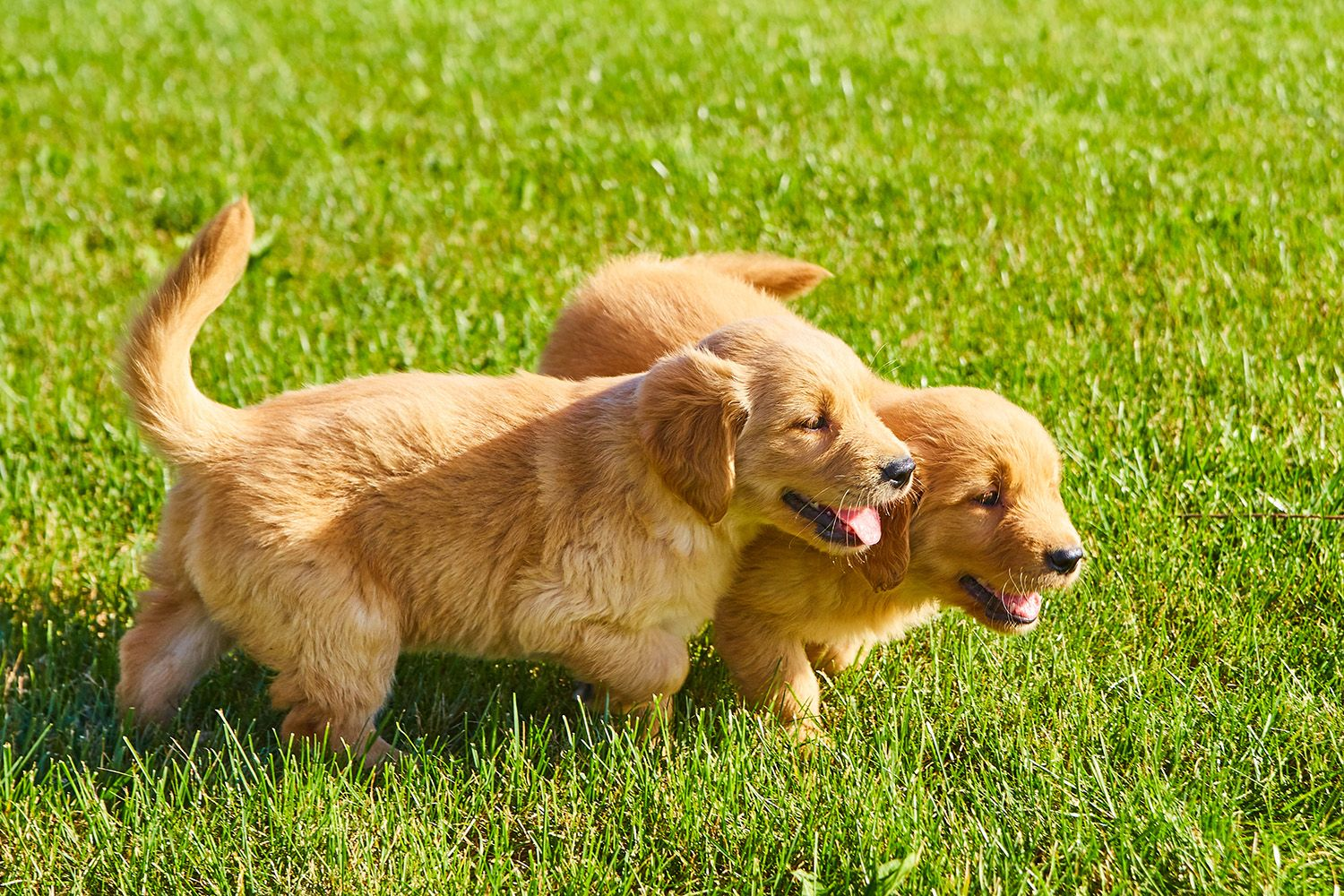We Don T Have Many Golden Retriever Puppies Left While Their