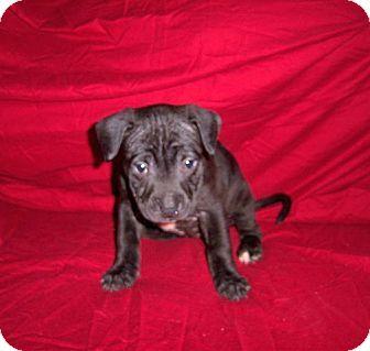Cherry Hill Nj Labrador Retriever Terrier Unknown Type Medium Mix Meet Beth A Puppy For Adopti Puppy Adoption Labrador Retriever Labrador Retriever Mix