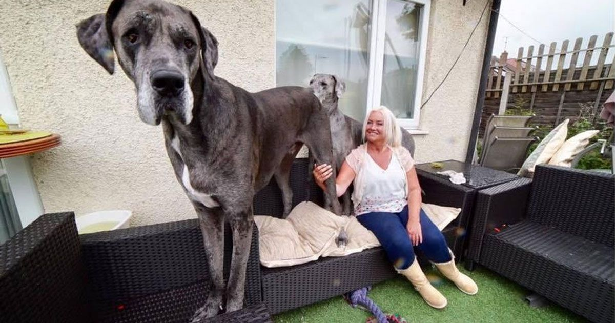 Meet Freddy He S Over 7 Feet Tall And Is The Biggest Dog In The