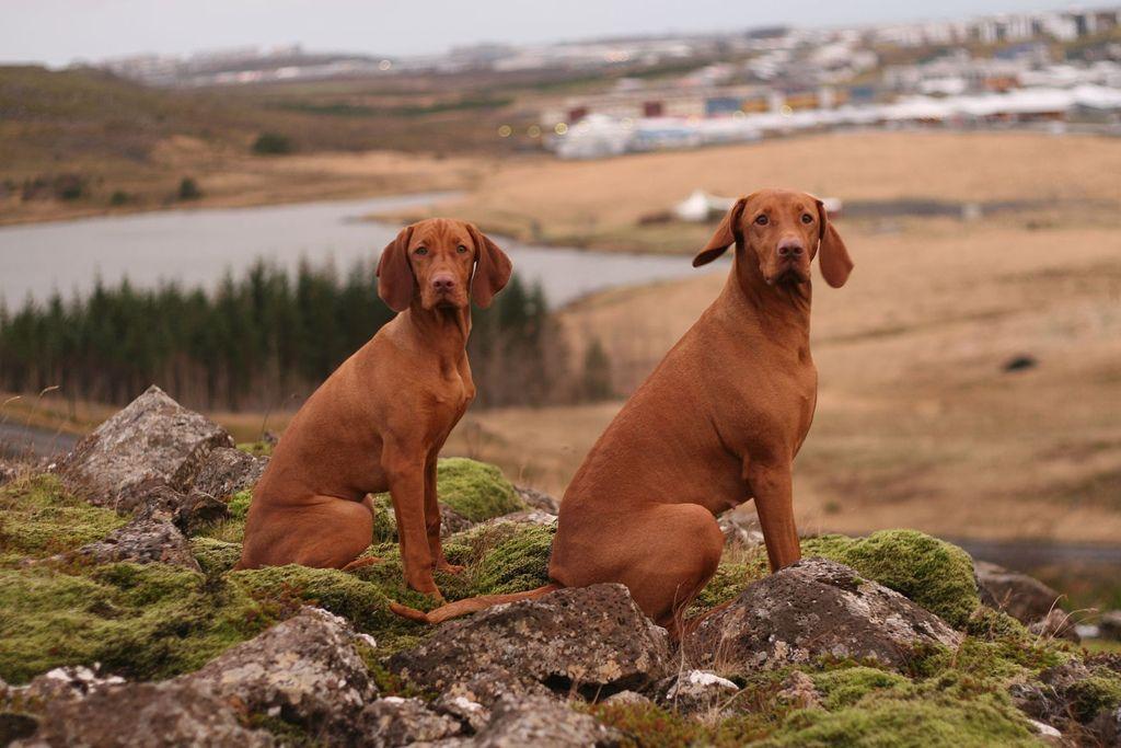 Vizsla Vizsla Dogs Vizsla Dog Breeds