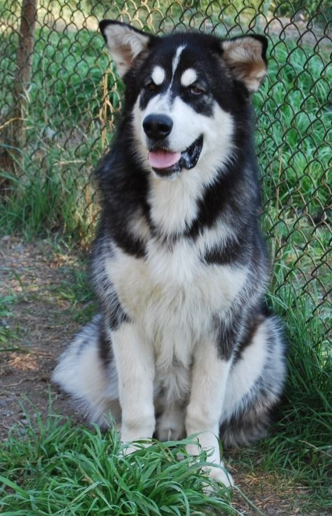 Lovely Mask On This Alaskan Malamute Alaskan Malamute