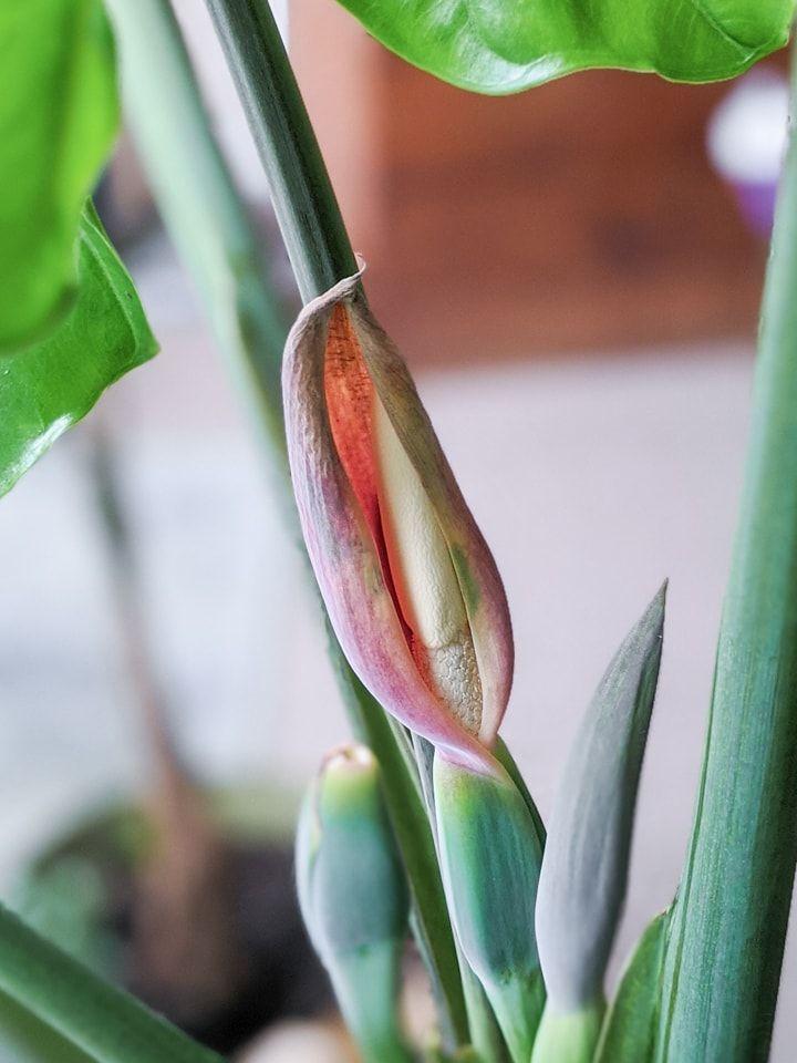 Elephant ear plant care guide growing colocasia alocasia
