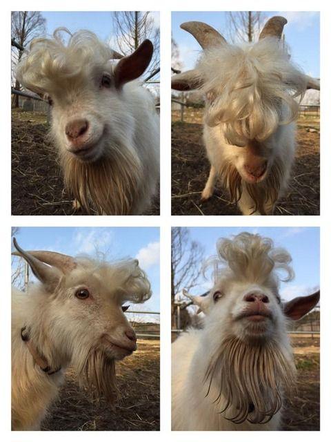 Mustache goat  Super cute | Goats | Goat farming, Goats