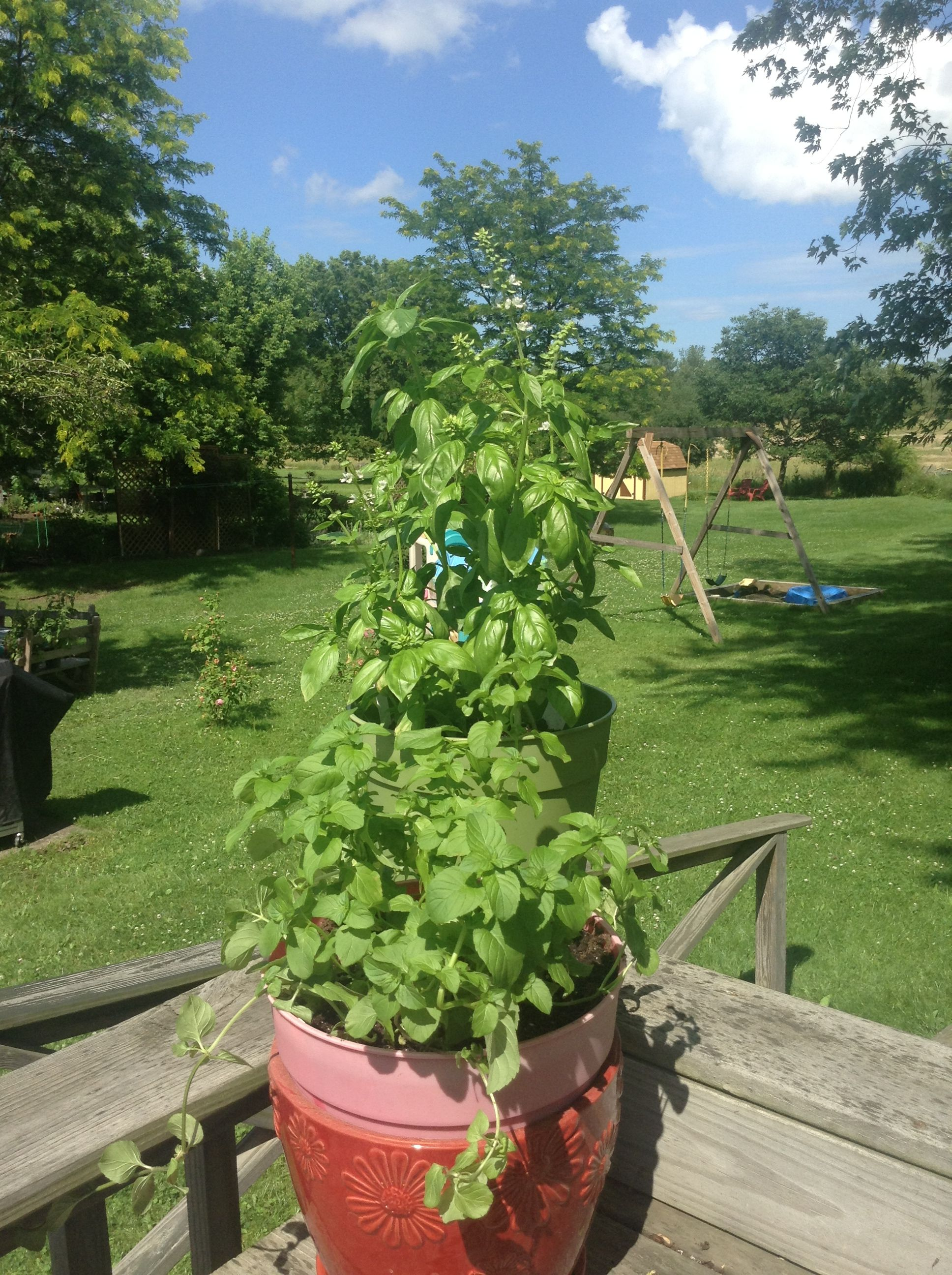 Our herbs, basil,,,