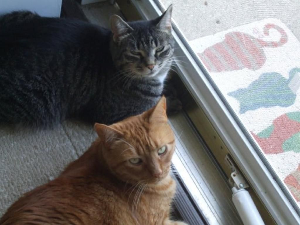 Annabelle (grey tiger) and Gus (orange tabby), courtesy