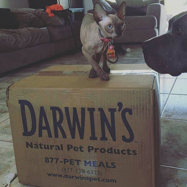 Repost Via Nocturnalsphynx Someone Is Happy For That Their Food Finally Arrived Rawdiet Darwinspets Rawfedcats Catsofinst With Images Natural Pet Raw Cat Food Recipes