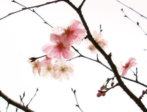 Cherry Blossoms After The Rain Cherry Blossom Blossom No Rain No Flowers