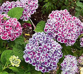 White Flower Farm S Hydrangea Cityline Mars White Flower