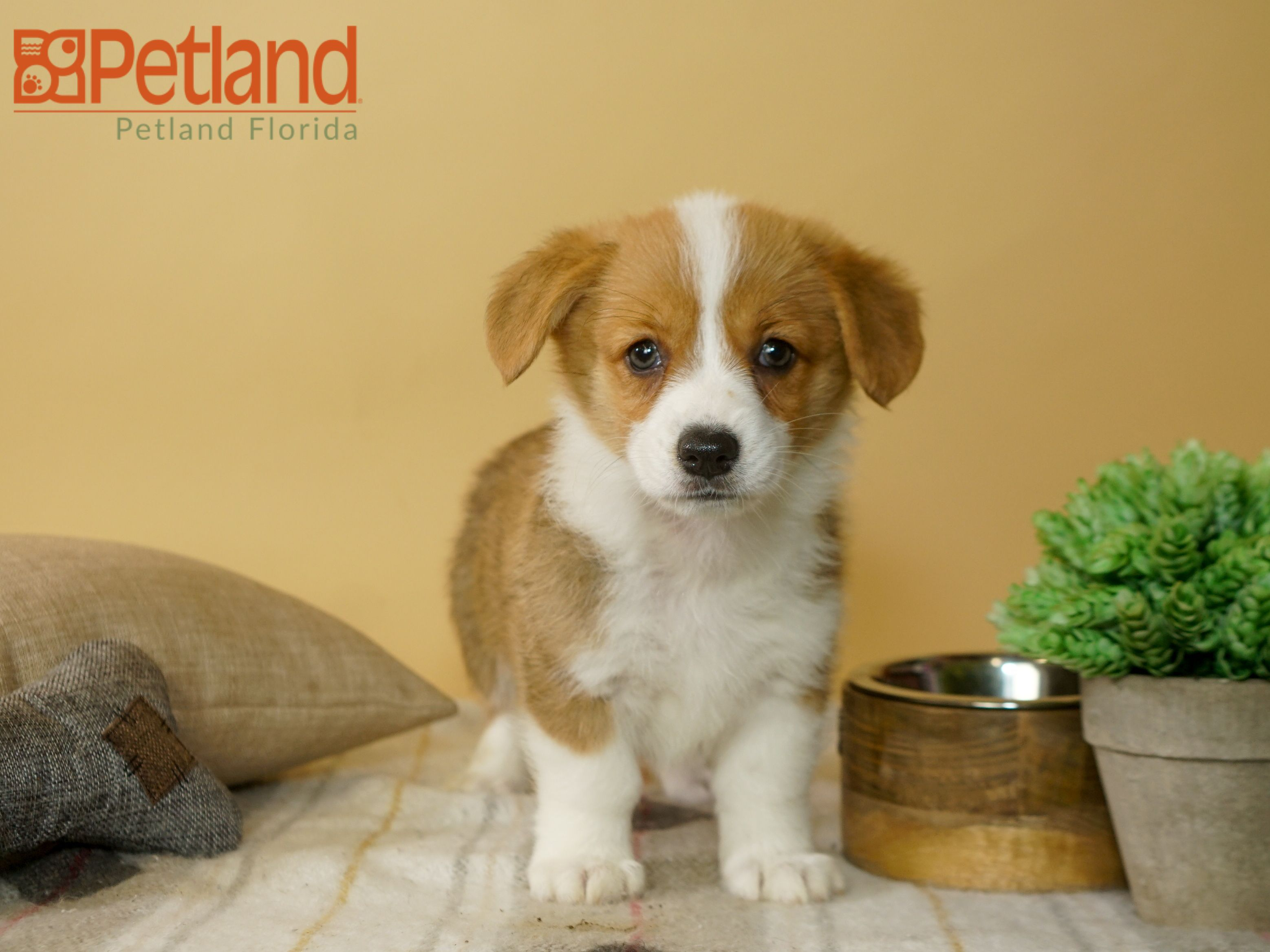 The Journey Of Life Is Sweeter With A Pembroke Welsh Corgi Find