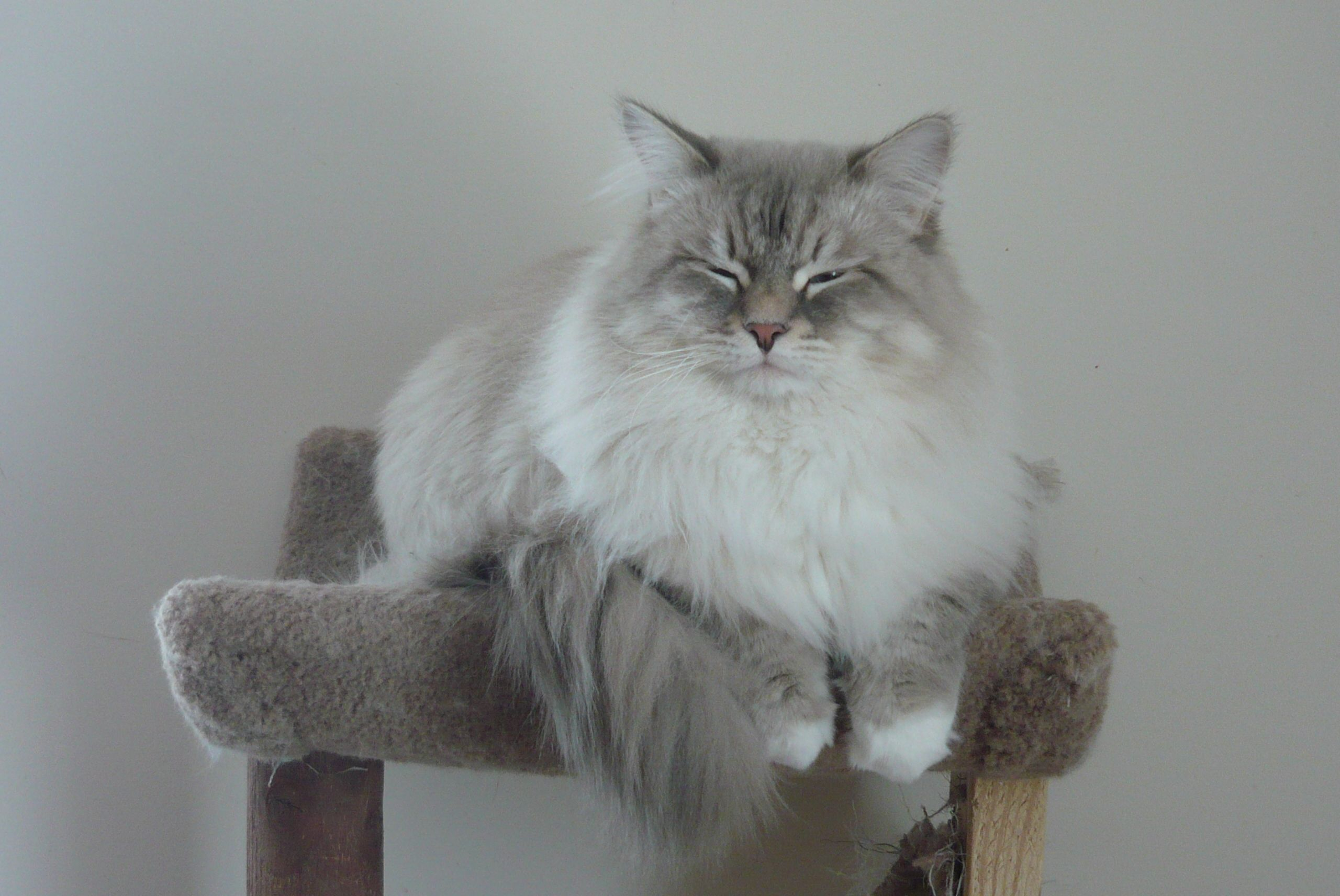 Neva Masquerade breed is a cat for those who love animals with a dense, beautiful fur
