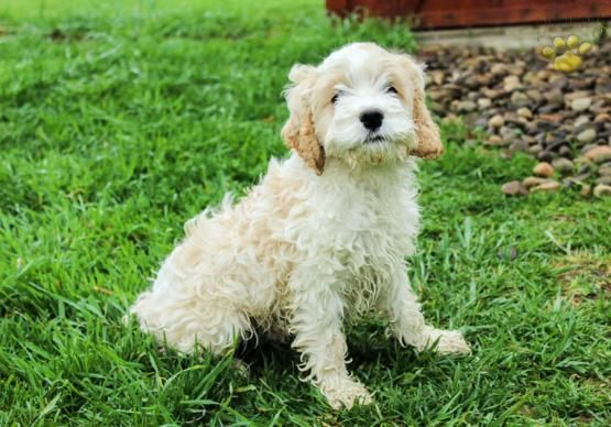 Mickey Cockapoo Puppy For Sale In Milroy Pa Lancaster Puppies