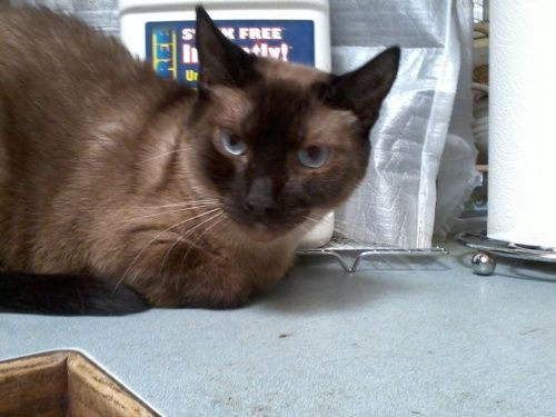 Adopt Wallace On Siamese Cats Adoption