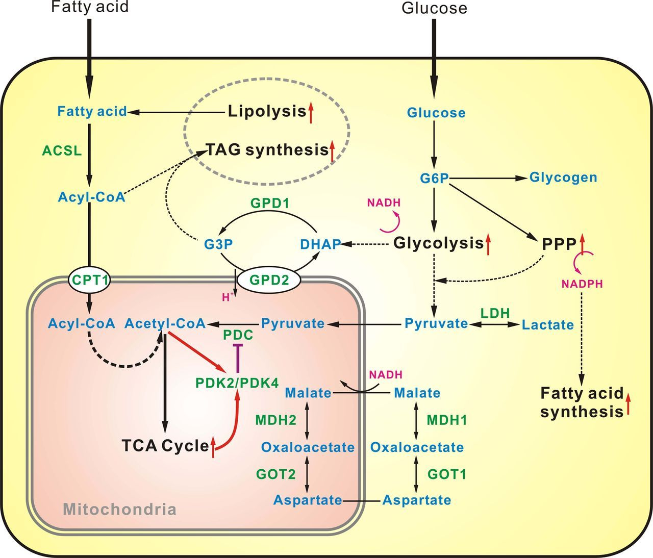 glucose metabolism Glucagon and regulation of glucose metabolism  to increase blood glucose, glucagon promotes hepatic glucose output by increasing glycogenolysis and gluconeogenesis and by decreasing glycogenesis and glycolysis in a concerted fashion via multiple mechanisms compared with healthy subjects, diabetic patients and animals have abnormal.