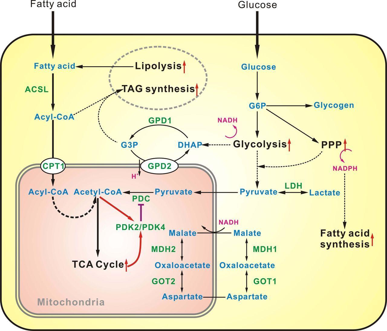 Glucose Metabolism Diagram Transcriptome Profiling Of