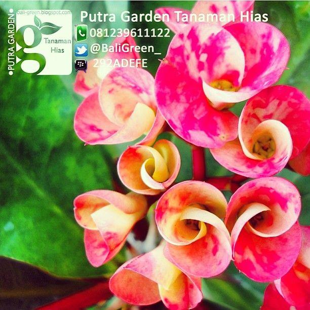 Putra Garden Tanaman Hias Tanaman Bunga Aster