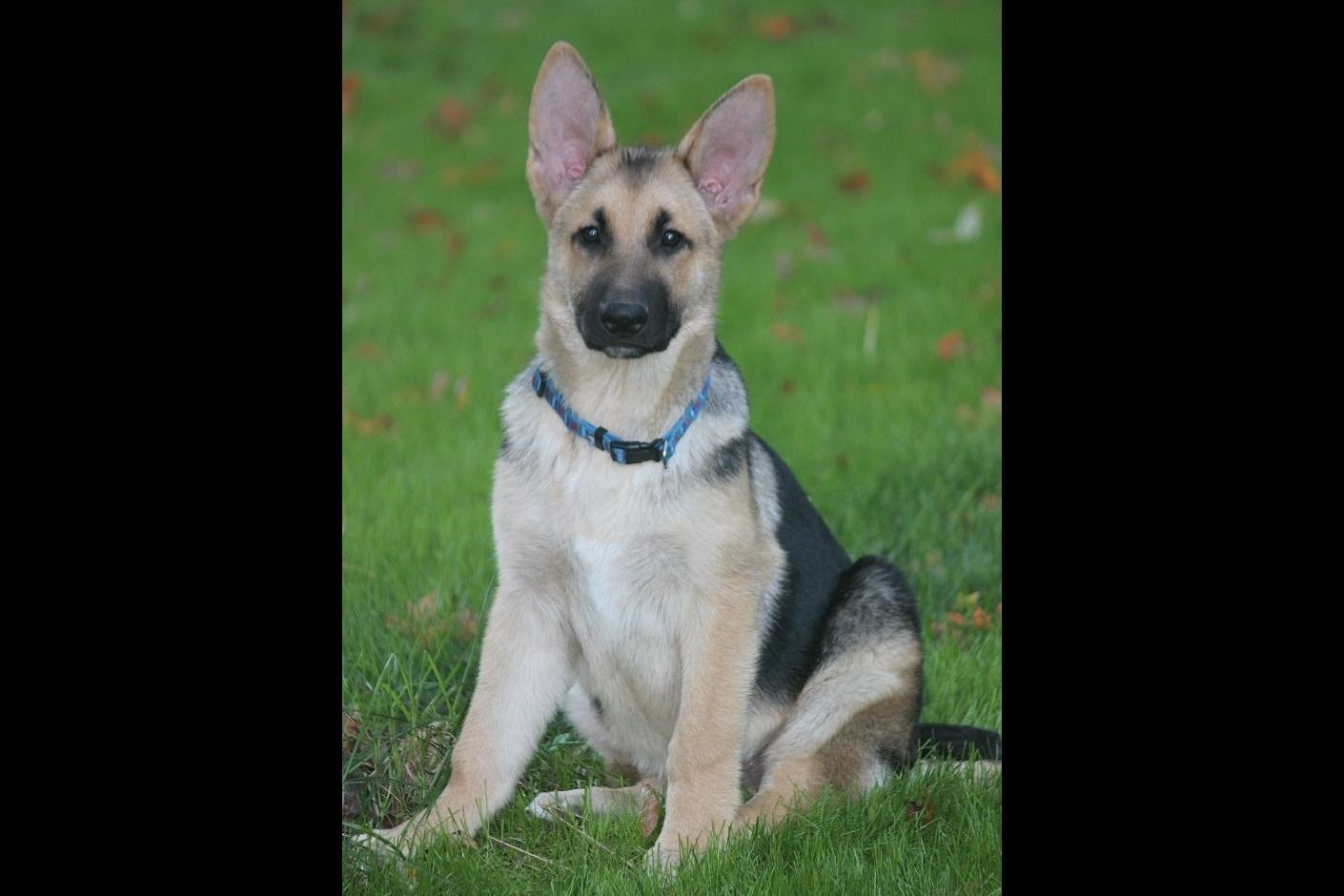 Pin On German Shepherd Puppies For Sale Michigan