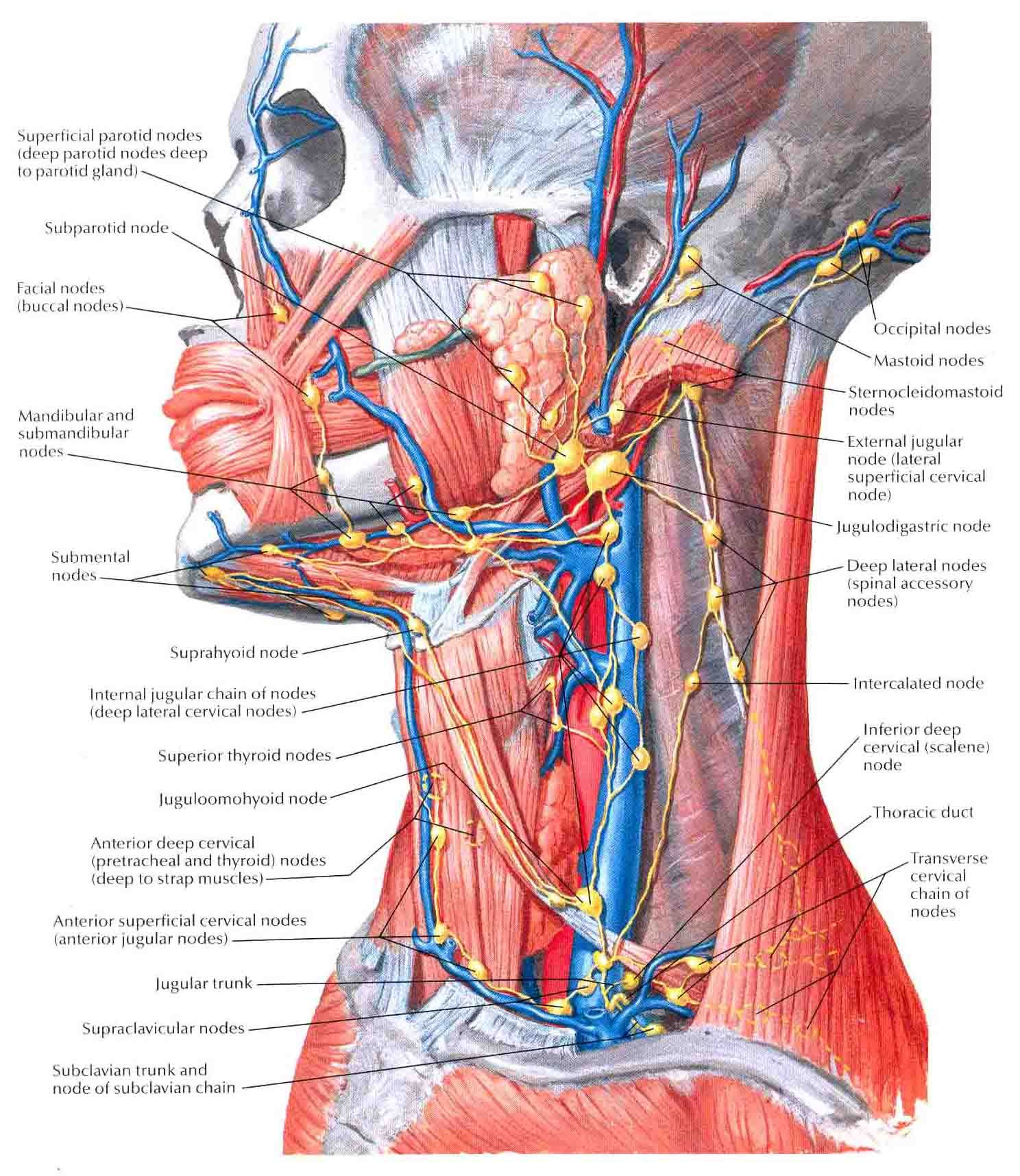 picture of all lymph nodes in head | Lymphatic System | Pinterest ...
