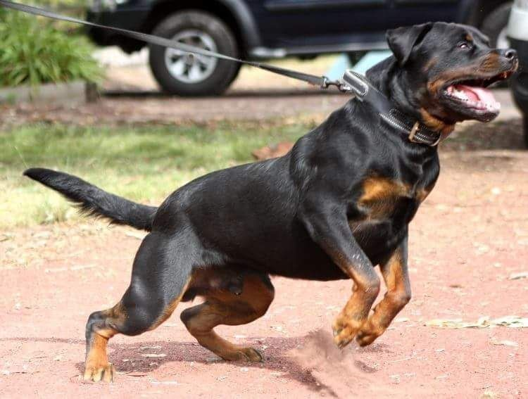 Pin By G Ed On Rottweiler Pinterest Rottweiler Dogs And