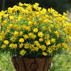 osteospermum 39 voltage yellow 39 brings high energy to your spring container osteospermum. Black Bedroom Furniture Sets. Home Design Ideas