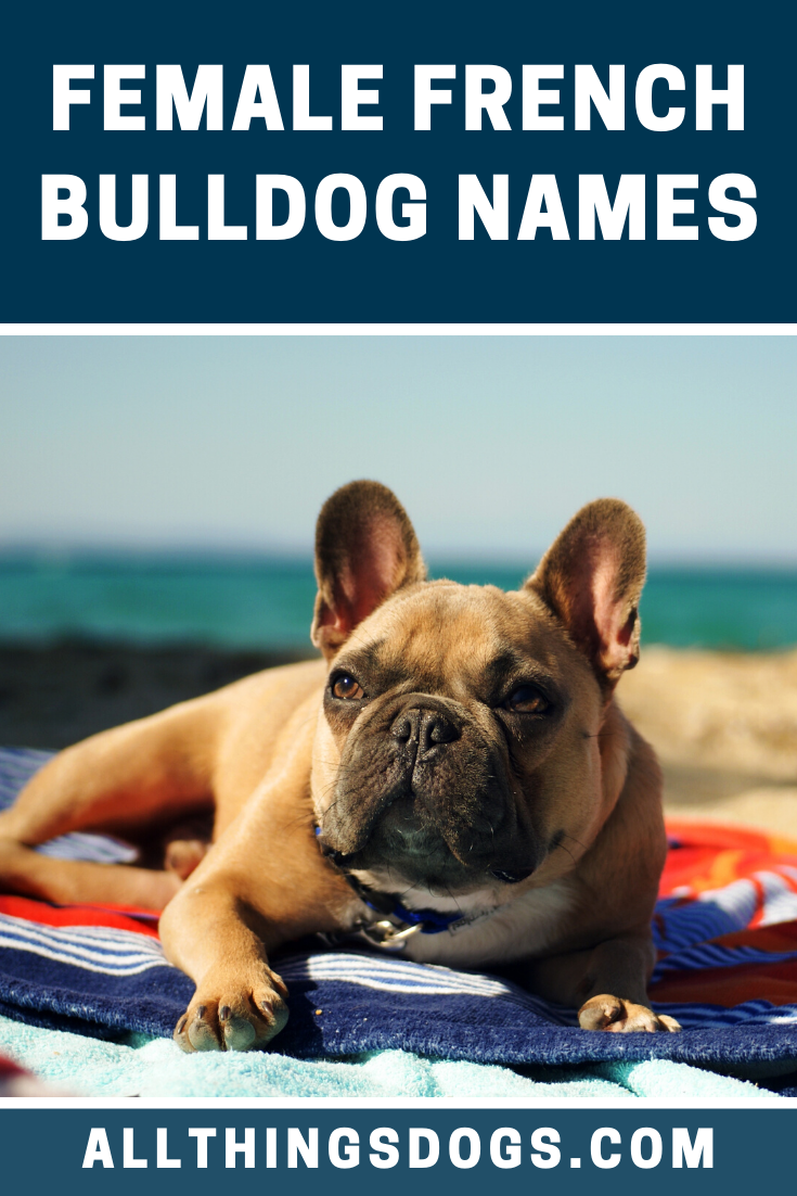 Finding good female French Bulldog names might seem like a