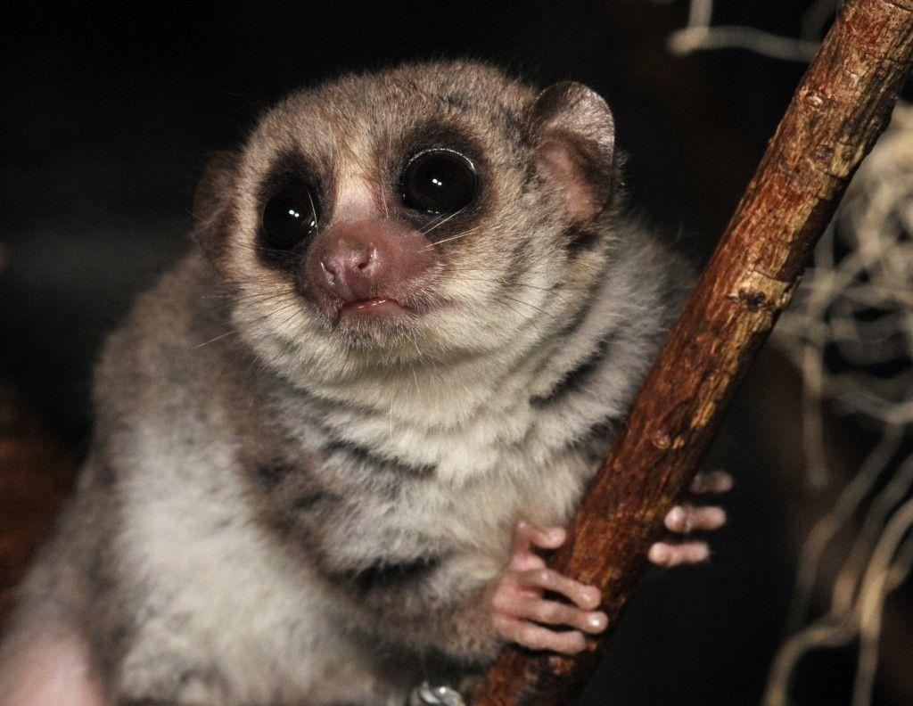 fat tailed dwarf lemur cheirogaleus medius