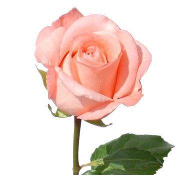 Peckoubo Salmon Pink Rose 250 Standard Roses Flower Beauty Rose