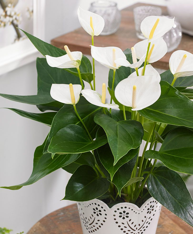 Anthurium Tisento Blanc Anthurios In 2018 Pinterest Plants