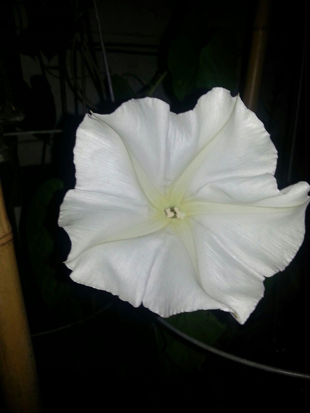 BOGO 50/% off SALE 25 Seeds Moonflower