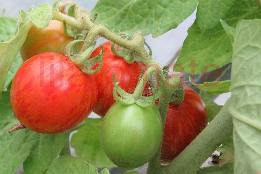 Saatgut Tomate Tigerette Rot Saatgut Melanie Grabner S Tomatenfinden Saatgut Tomaten Sorten Tomaten