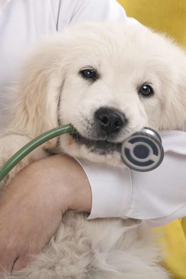 Golden Retriever Puppy Playing With A Stethoscope Vet Goldenretriever In 2020 Golden Retriever Retriever Puppies
