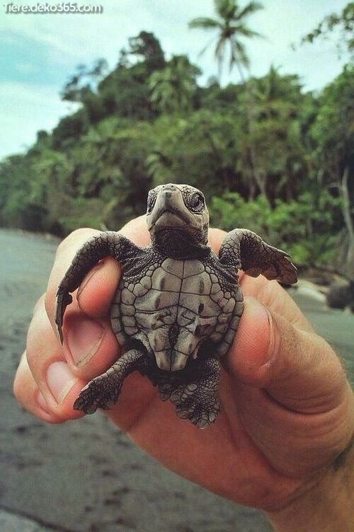 Außergewöhnlich Die hübsche Schildkröte, die Sie noch nie gesehen nach sich ziehen #animalesbebébonitos