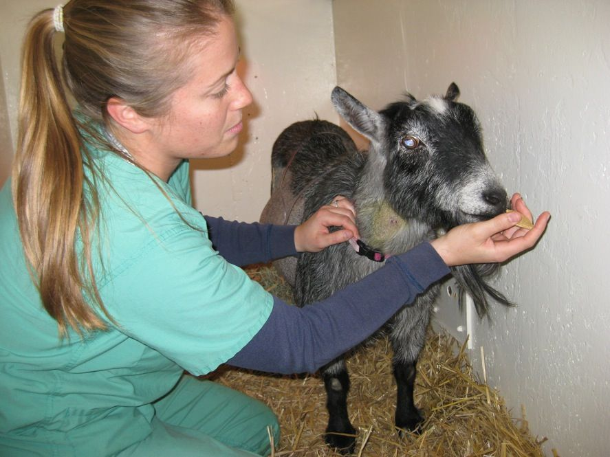 Vets use ventilator to save goat with pneumonia Promoting - veterinarian job description