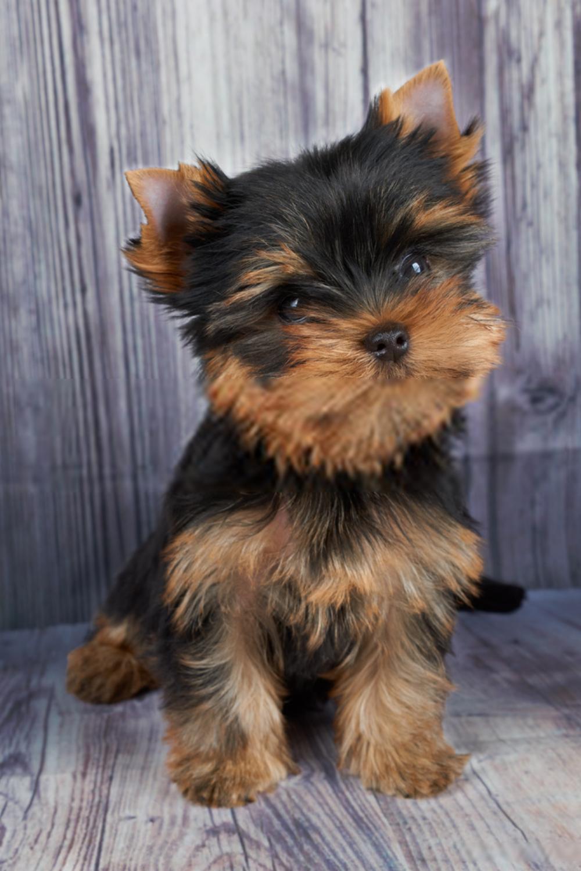 Terrier Puppies Yorkshire Terrier Puppies In 2020 Yorkshire Terrier Puppy Yorkie Yorkie Dogs Terrier Puppies