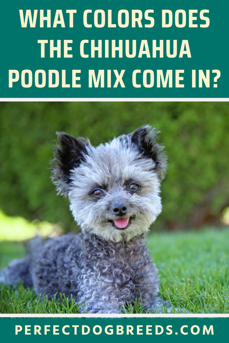 Chihuahua Poodle Mix Colors In 2020 Poodle Mix Breeds Poodle Mix Chihuahua Poodle Mix