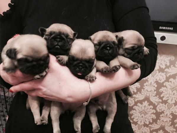 Kc Registered White Gene Fawn Pug Puppies For Sale In Dagenham