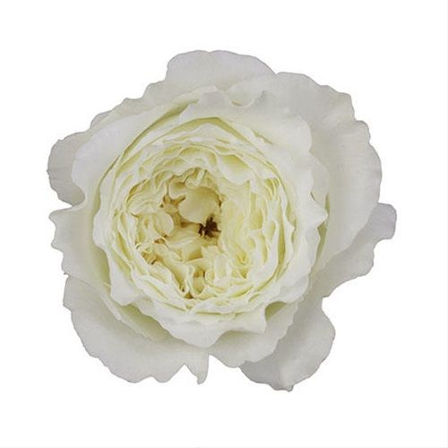 patience garden rose roses flowers by category sierra flower finder - White Patience Garden Rose