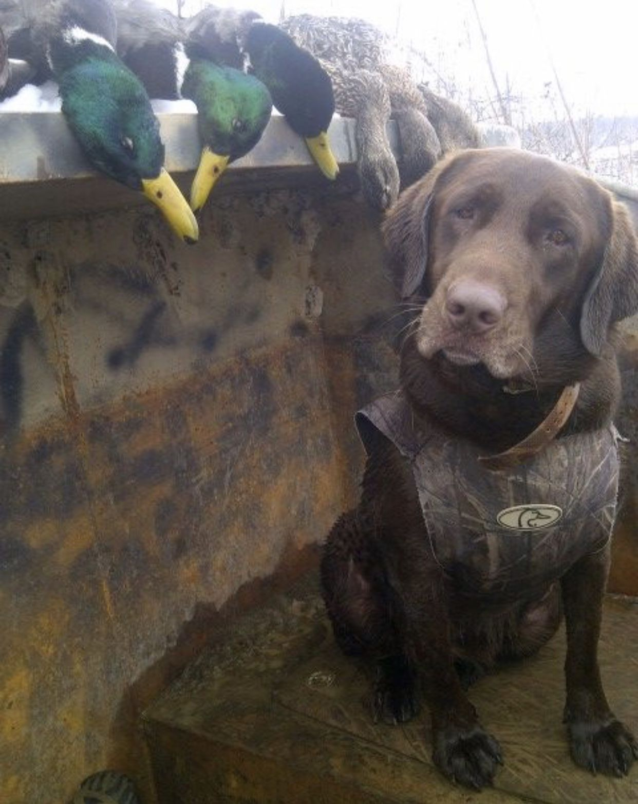 Handsome Pointer From Pakistan Hunting Dogs Weimaraner Dogs