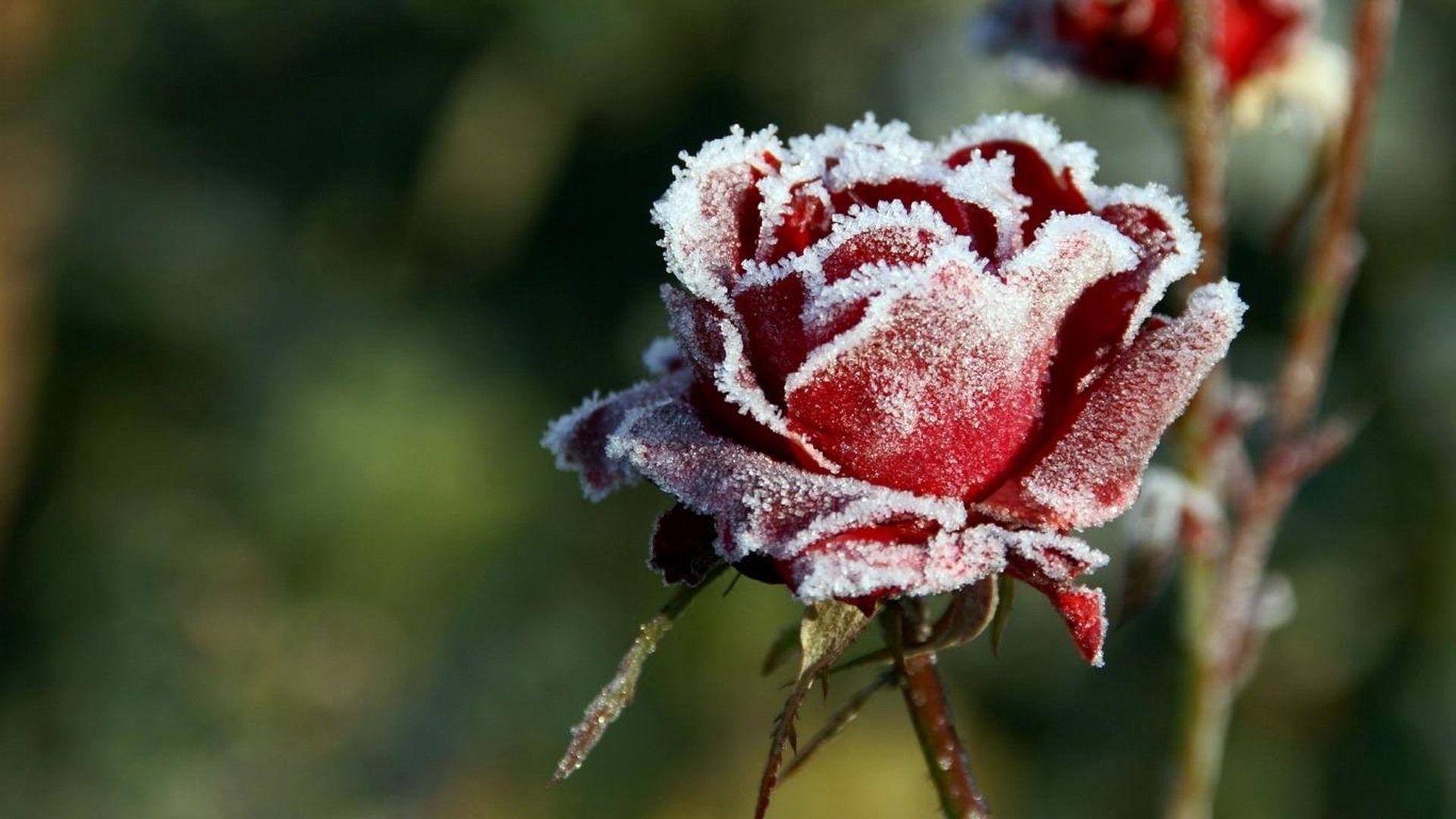 Frozen Dew Rose Nature Hd Wallpaper Rose Flower Wallpaper Yellow Rose Flower Rose